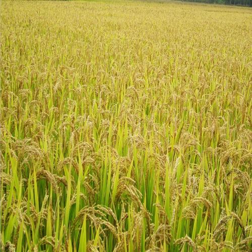 供应 高产水稻 绿色无公害大米