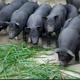 【汇丰农牧】 陕北安塞高山 农家散养 黑土猪肉原生态特色猪肉  五花肉 10斤起