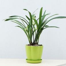 兰花苗春兰老八种绿植盆栽花卉