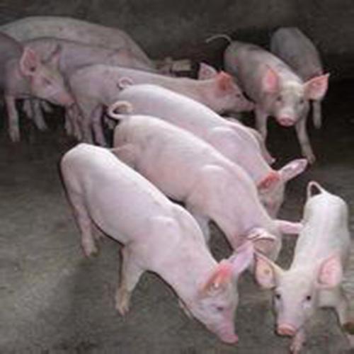 供应旺发三元猪