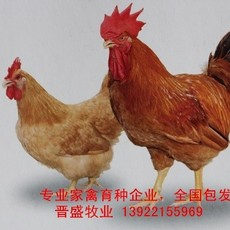 红公鸡苗厂家批发,全国包发红公鸡苗价格实惠