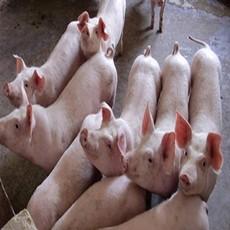 批发三元长白生猪绿色无污染有机