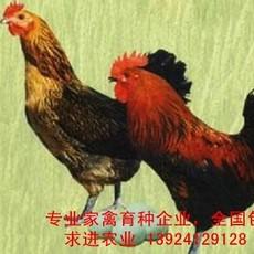 高产绿壳蛋鸡苗出售,国内专业高产绿壳蛋鸡种批发,广东高产绿壳蛋鸡苗价格