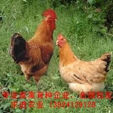 厂家笨鸡苗价格,国内专业育种公司笨鸡苗批发