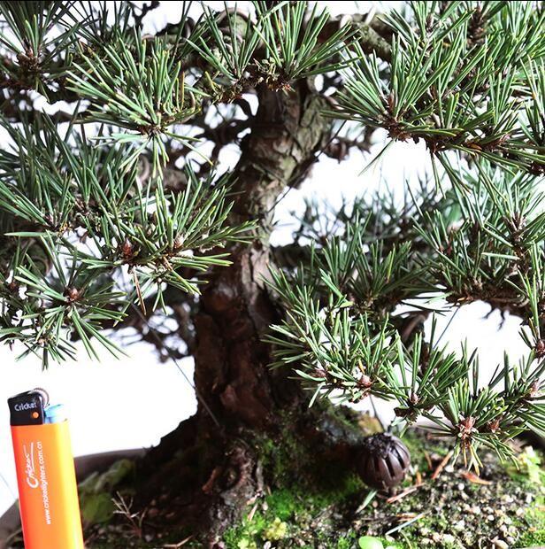上林苑盆景 日本千寿丸黑松 造型盆景 老桩精品盆栽小品实物孤品