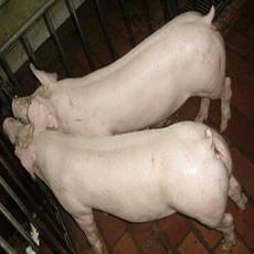 永军养猪场 大量供应猪优质生猪品种齐全量大从优
