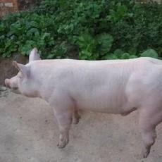 庆城县建安养殖  春种公猪