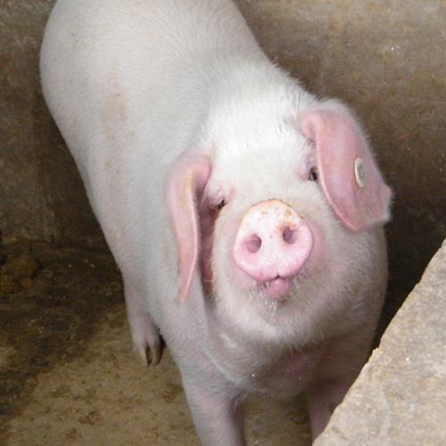 苹果x壁纸动物猪