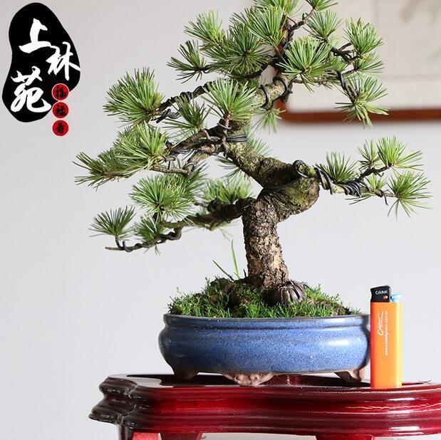 上林苑盆景 日本原盆進口四國五針松 微型五針松精品盆景 綠植