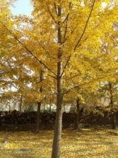银杏树苗 白果树