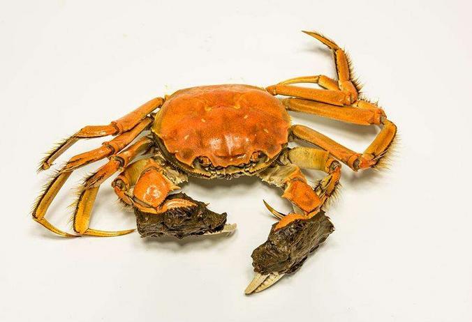 现货大闸蟹公母蟹 2两母3两公 鲜活巢湖螃蟹
