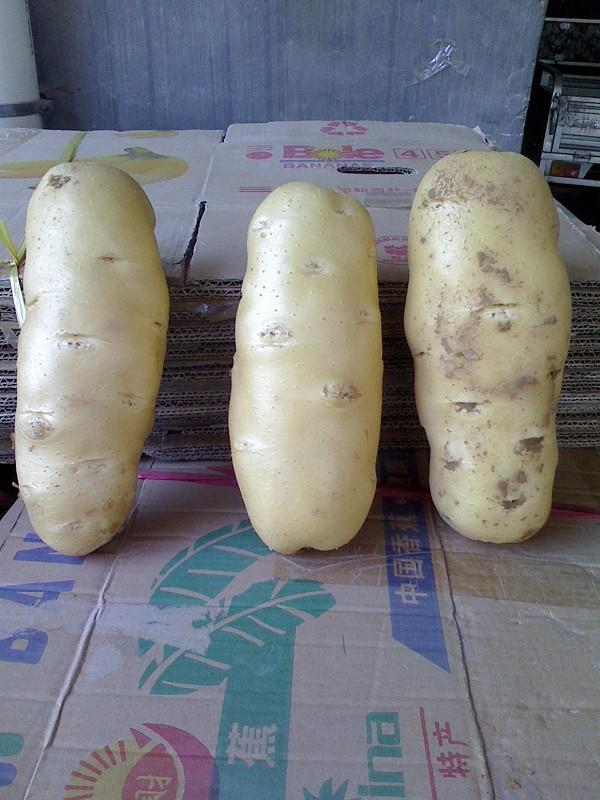 供应:山东肥城荷兰十五土豆马铃薯大量供应中