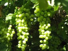 供应新疆吐鲁番无核白葡萄