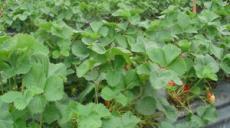 四季草莓苗可盆栽 24个品种可选 草莓苗 四季易种