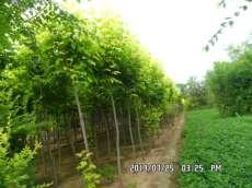 河北金叶复叶槭|胶东卫矛报价