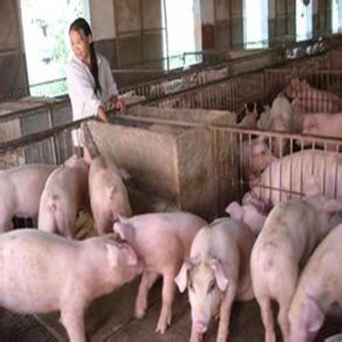富民乐养殖常年供应生猪+肉质鲜美=欢迎选购