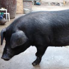 供应 农家土猪 黑猪肉 沂蒙黑猪
