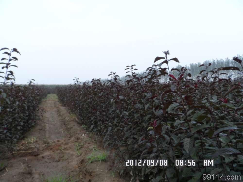 供应北京丛生紫叶矮樱苗木