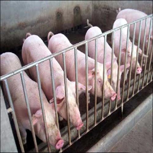 优质生猪+科学饲养   欢迎选购