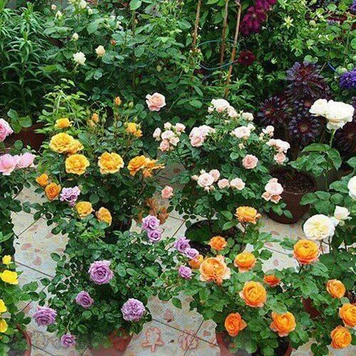 爬藤多花月季苗 小紅花大型藤本薔薇 盆栽微型月季花