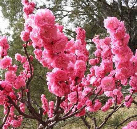供应北京绿叶碧桃,紫叶矮樱