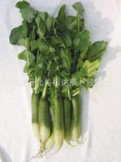 专业种植生产潍坊萝卜 大量直销青萝卜