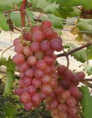 红提葡萄苗-红提葡萄苗价格-河北葡萄苗