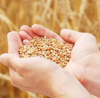 有机优质冬小麦 颗粒饱满干净