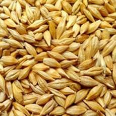 供应绿色无污染小麦