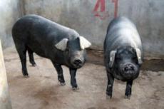 供应苏太猪 黑猪苗猪 厂家直销 欢迎来电