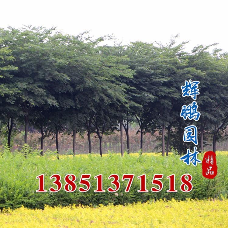 綠化大喬木 櫸樹苗 6-10公分 道路行道樹 櫸樹銷售 基地發貨