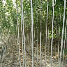 亚祥苗木基地直销 2-5CM速生白蜡 一年生 多年生 规格齐全 品质优  树形好