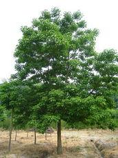 重阳木基地 重阳木 重阳木价格