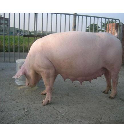 武胜县农家养殖生态猪