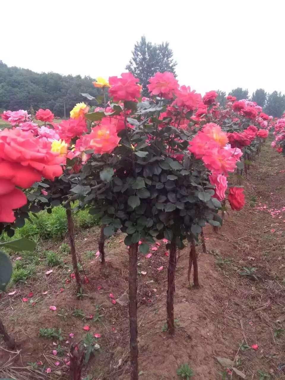 月季花树桩月季藤本月季微型月季大花月季自产自销源产地