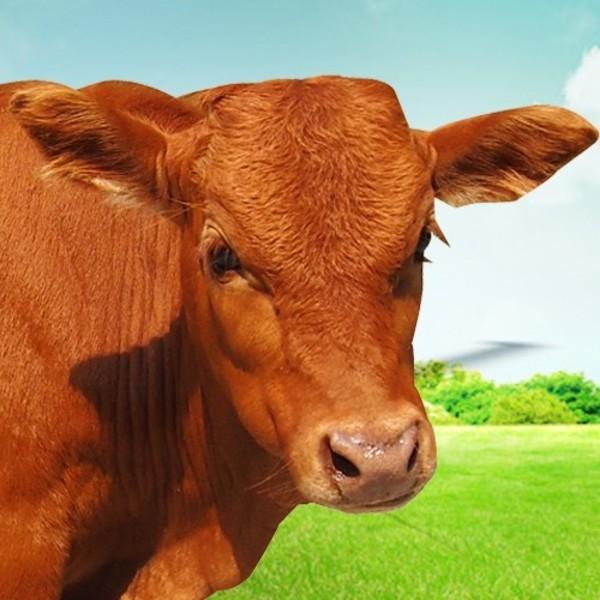 原生态绿色食品 肉牛