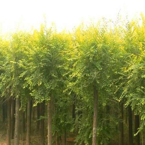 鄢陵园林提供6-10公分金叶榆  树形好  品质优  价格美