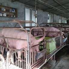 农家养殖生态猪 天然养殖生猪大量销售