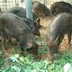 北京养殖基地的天然野香猪 预购从速
