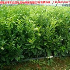 琯溪三红蜜柚苗种植管理技术,琯溪三红柚子苗|蜜柚果树苗种植管理