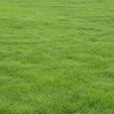 供天堂草坪百慕大草坪 黑麦草混播草坪 果岭草