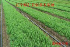 落叶松苗、日本落叶松基地、落叶松种子、辽宁落叶松