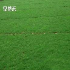 进口草地早熟禾种子 四季常青 生长低矮 耐践踏