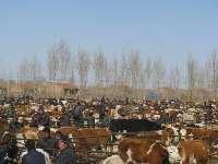 黑白花奶公牛 黑白花小公牛价格