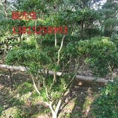 苏州造型瓜子黄杨柳苏州别墅绿化工程 造型树景观树古桩基地 苏州梅花树 私家庭院景观绿化