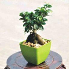 绿色防辐射植物批发小榕树盆栽人参榕微型盆景 室内花卉绿植