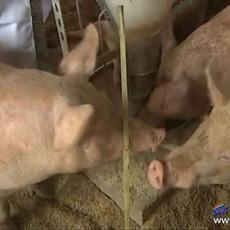 养殖生态猪  天然养殖  健康更放心