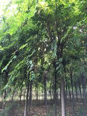 朴树2  702