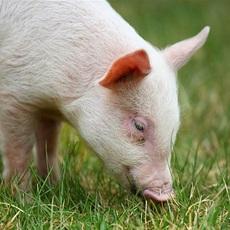 永登延文  供应生猪  农家自养