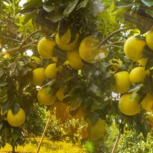 一级品种端正蜜柚